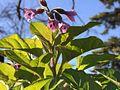 Physochlaina orientalis 02.jpg