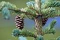 Picea glauca cone Denali.jpg