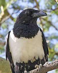Pied Crow (Corvus albus) closeup from front
