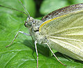 Pieris brassicae front female.jpg