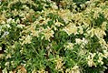 Pieris japonica Sarabande 1zz.jpg