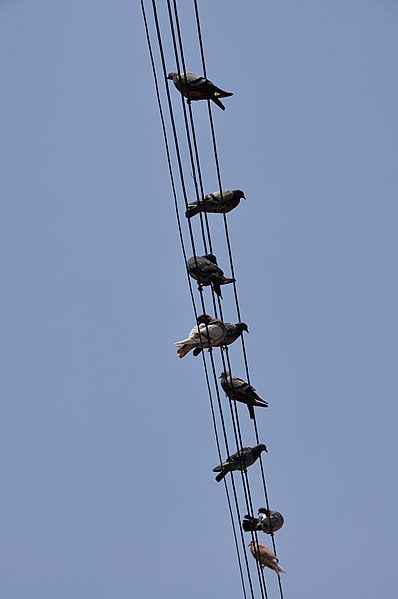 File:Pigeons on wires (Nicosia, 2010).jpg