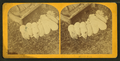 Pigs, by Kilburn Brothers 2.png