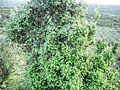 PikiWiki Israel 30710 Vine Plant.jpg