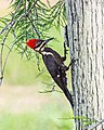 Pileated Woodpecker (16936812129).jpg