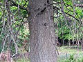 Pin Oak (31182633542).jpg