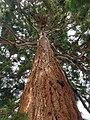 Pinales - Sequoiadendron giganteum - 5.jpg