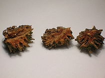 Dissected Pineapple 'pseudocone' Galls.