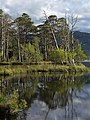 Pines, Loch Mallachie - geograph.org.uk - 602339.jpg