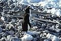 Pingüinos y barbas de ballena.jpg