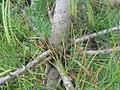 Pinus cembra Pygmaea 3zz.jpg