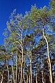 Pinus clausa USDAFS.jpg