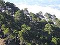 Pinus hartwegii Tajumulco 3.jpg