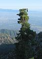 Pinus lambertiana near Icehouse Canyon.jpg