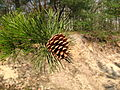 Pinus rigida cone and foliage.jpg