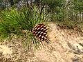 Pinus rigida cone and foliage.jpg