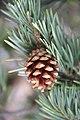 Pinus sylvestris (24318558673).jpg