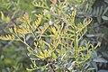 Pistacia terebinthus-3221.jpg
