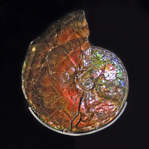Placenticeratidae - Placenticeras meeki