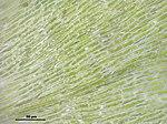 Plagiothecium curvifolium (f, 144809-474434) 7039.JPG
