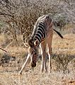 Plains Zebra (Equus quagga burchellii) foal ... (32948160192).jpg