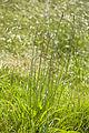 Plantago lanceolata velennes 80 10062008 2.jpg