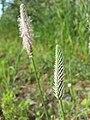Plantago media sl3.jpg
