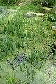 Plantes aquatiques-Jardins de Callunes (3).jpg