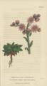Plate 11 Sempervivum Tectorum - Conversations on Botany-1st edition.tiff