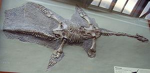 Thalassiodracon - Thalassiodracon hawkinsi found in the Lower Lias strata, Street, Somerset, England.
