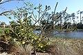 Plumeria obtusa - Naples Botanical Garden - Naples, Florida - DSC00003.jpg