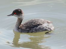 A bird in water, facing to the left. The bird has a brownish head, a whitish chin and upper throat, whitish flanks, and an overall brownish look.