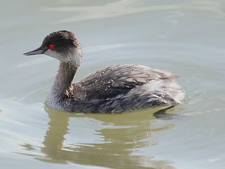 Grebe Order of birds