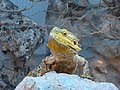 Pogona vitticeps 001 - Zoo Aquarium de Madrid.jpg