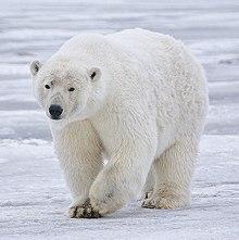 Seth's Bear Buddy 220px-Polar_Bear_-_Alaska_%28cropped%29