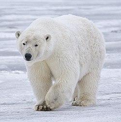 Polar Bear Drink Non Alcoholic