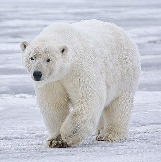 Polar bear Species of bear native largely within the Arctic Circle
