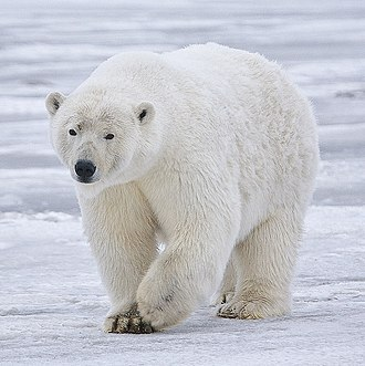 Polar bear - Image: Polar Bear Alaska (cropped)
