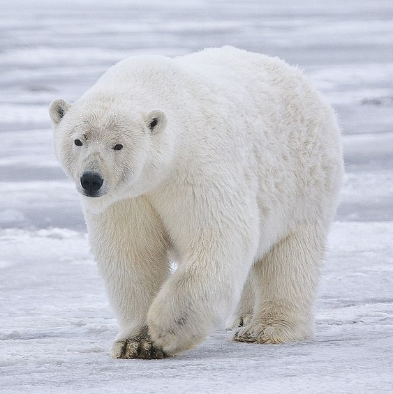 Polar Bear - Alaska (cropped)
