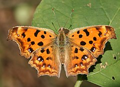 Polygonia c-aureum in Higashiyama Zoo and Botanical Gardens.jpg