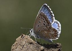 Polyommatus syriaca - Çokgözlü Levantin Çillimavisi 03-1.jpg