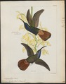 Polytmus lazulus - 1820-1860 - Print - Iconographia Zoologica - Special Collections University of Amsterdam - UBA01 IZ19100025.tif