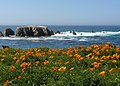 Poppies - Point Buchon (2398996909).jpg