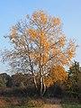 Populus alba Topola biała 2020-10-25 02.jpg