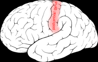 Postcentral gyrus - Postcentral gyrus of the human brain