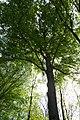 Praha, Liboc, Obora Hvězda, památný strom II.JPG