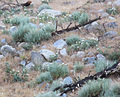 Prickly poppy returns after fire.jpg