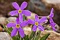 Primula angustifolia New Mexico.jpg