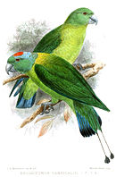 Drawing of two green parrots with darker wings and blue tail tips, one with a red and blue crown