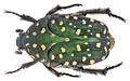 Protaetia (Acanthoprotaetia) niveoguttata Janson, 1876 (14240716231).png